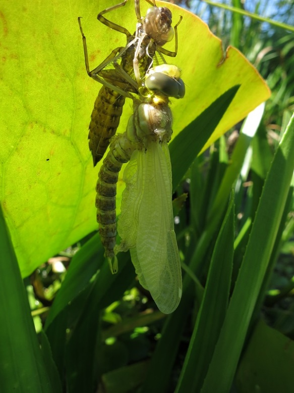 Flügelentfaltung