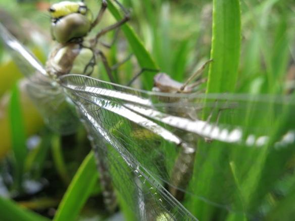 LibelleGrün6_Flügeldetail