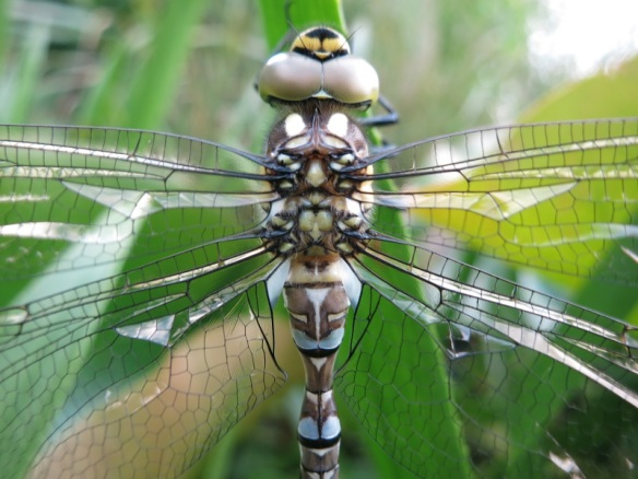 LibelleGrüne5_Flügeldetail
