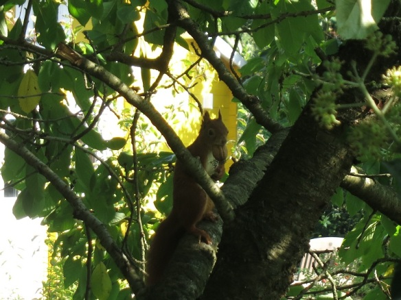 EichhörchhörnchenWalnuss