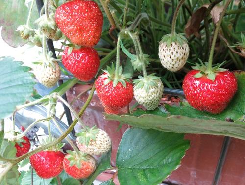 Erdbeere_zweiteErnte