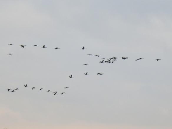 Kranichflug über Moor