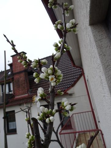 Zwetschenblüte Frühlingsanfang 2020. Foto: K. Tiedemann