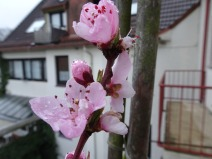 Pfirsichblüte Südseite Bremen. Foto: K. Tiedemann